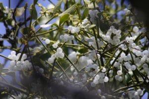 Mistel / Mistletoe